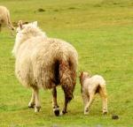 Sodden sheep in fields
