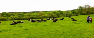 Laid back cattle on way back