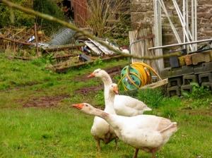 Geese in garden