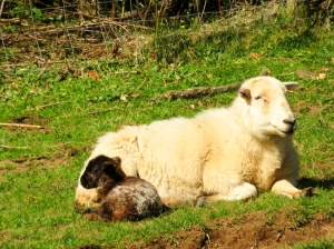 Dozing lamb and mum