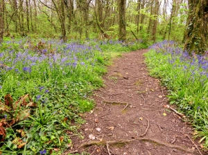 Bluebells in wood at St Donats