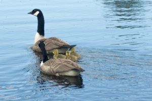 Canada Goose and chicks