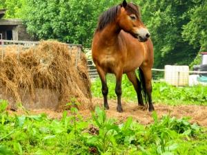 Beautiful Exmoor pony