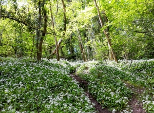 Garlic woodland in Parkmill