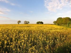 West Ridge rapeseed field