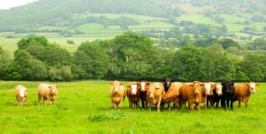 Bullocks lining up