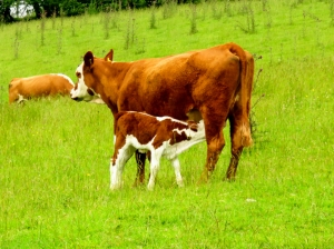 Sucklinmg calf