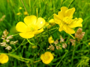 Buttercups in the meadows