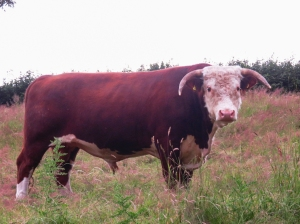 The Hereford Bull