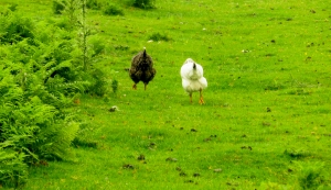Chickens leading the way