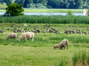 Sheep and Canada Geese beside Llangorse Lake