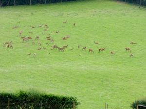 Deer and fawns at Middlewood Farm