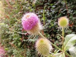 Teasels wearing their new coats