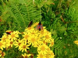 Cinnabar moths