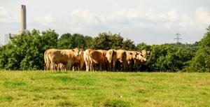 barrenhill cows