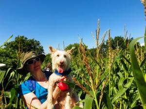 Tall maize at Llancadle