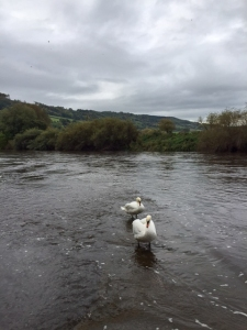 swans on the river wye