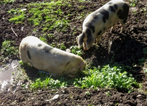 pigs in muck