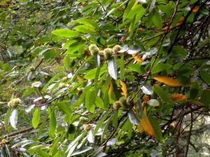 sweet chestnuts