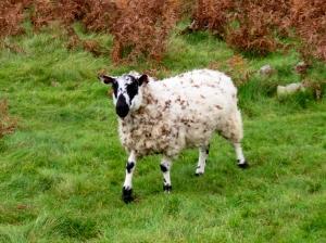 spotty sheep