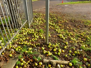 fallen apples at romilly school