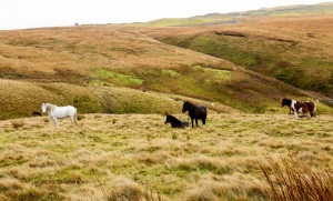 pregnant ponies on open moorland