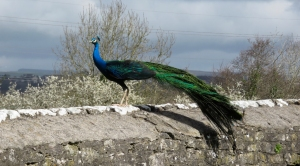 Peacock at Ewenny Priory