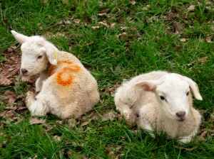 New lambs The Lodge Farm