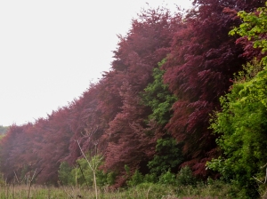 Copper Beeches