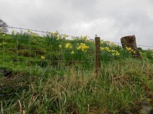 Daffodils on way back