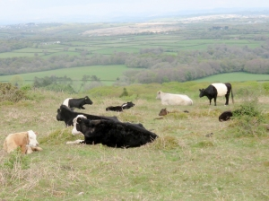 Belted Galloway cattle Cefn Bryn