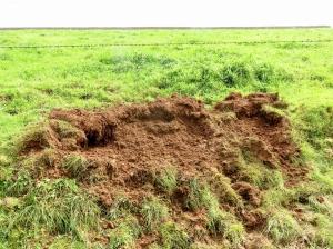 Damage by wild boar