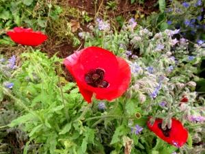 Poppies at Swanbridge Road