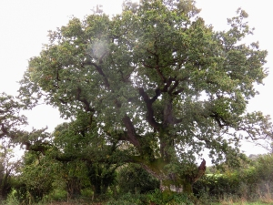The old 1573 oak tree