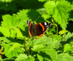 Red Admiral butterfly Birch Grove Wood