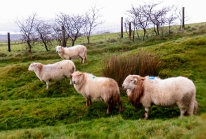 Sheep below Garth Hill