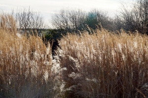 Reed beds in the Wetland reserve