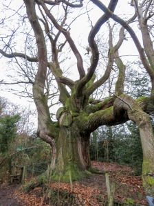 The huge sweet chestnut tree Millbrook Bridge
