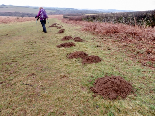 Molehills at Old Castle Down