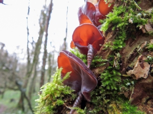 Jelly Ear fundus and Door snails