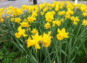 Spring daffs at the Twyn