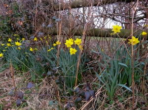 Daffodils at Tir Thomas-James
