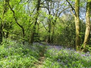 Bluebells Machen Wood
