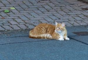 Ginger cat at Wenvoe