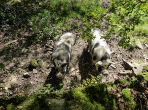 Dot and Patch the miniature pigs that grew up