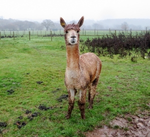 Soggy Alpaca at The Lawns