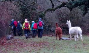 alpaca's at dyffryn mill