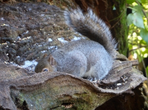 Squirrel in Cogan Wood