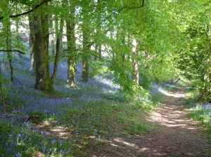 Woodlands filled with bluebells