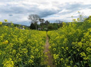 Back via rapeseed fields